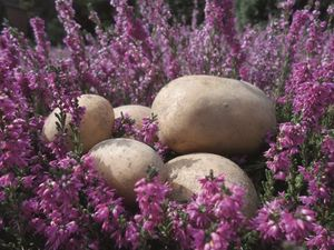 Heide-Kartoffeln auf der LandArt