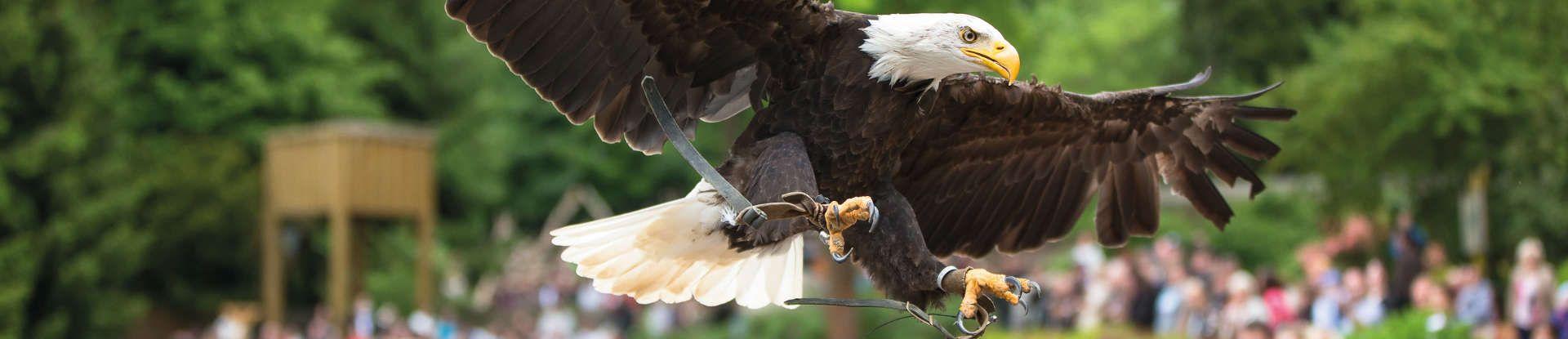 Adler im Wildpark Lüneburger Heide
